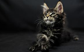 Picture cat, dark, Manson