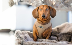 Picture portrait, look, Dachshund, dog