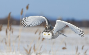 Picture the sky, snow, flight, nature, bird, wings, snowy owl