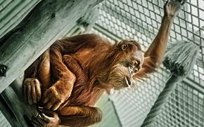 Picture look, monkey, Sumatran Orangutans