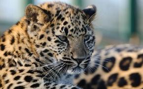 Picture cat, look, face, leopard, cub, kitty, Amur