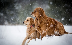 Picture winter, dogs, snow