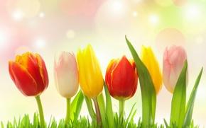 Picture grass, glare, tulips