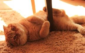 Picture cat, fold, kitten, cat, Kote, Monya, scottish, fold