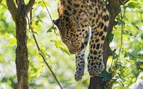 Picture tree, foliage, predator, paws, leopard