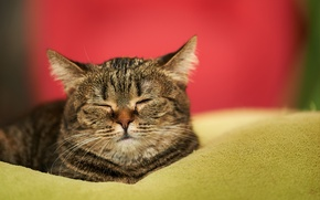 Picture cat, muzzle, house, sleeping, blanket, sleep, cat