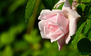 Wallpaper macro, tenderness, rose, Bud, bokeh