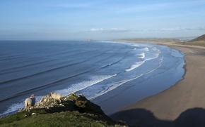 Picture sea, wave, beach, sheep