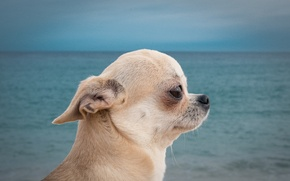 Wallpaper dog, Chihuahua, doggie, portrait, profile, sea, dog, muzzle