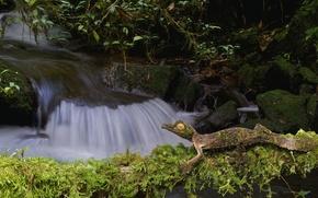 Wallpaper nature, stream, stones, moss, lizard, Gecko, fantastic listovoi Gecko, satanic Gecko