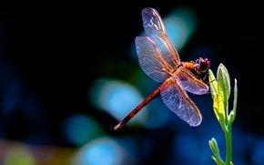 Picture plant, Rostock, dragonfly, red, leaves