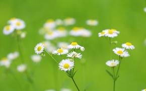 Wallpaper garden, petals, Daisy, meadow, stem
