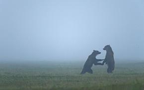 Picture animals, bear, bears, haze, wildlife, fogs