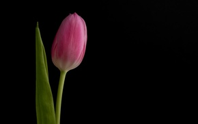 Wallpaper flower, Tulip, background