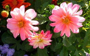 Picture photo, Flowers, Bud, Pink, Dahlias