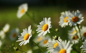 Picture flowers, flowers, widescreen, HD wallpapers, Wallpaper, full screen, background, Daisy, yellow, fullscreen, green, widescreen, flowers, ...