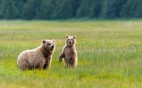 Picture greens, grass, nature, Alaska, meadow, Bears, bear, two, bear, National Park