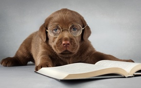 Picture each, dog, glasses, book, Labrador