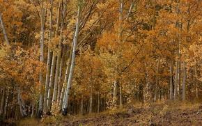 Wallpaper birch, aspen, trees, grove, autumn, forest, leaves