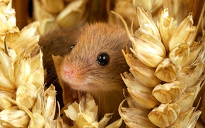 Picture eyes, smile, muzzle, ears, nature, mouse, small, The mouse is tiny, harvest mouse