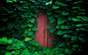 Wallpaper foliage, greens, nature, plants, the door, leaves