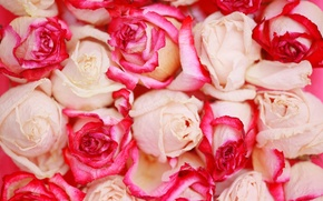 Picture love, flowers, roses, love, rose, flowers
