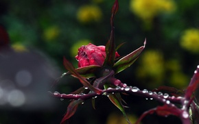 Picture drops, macro, flowers, nature, rose, plants