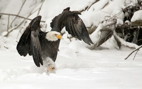 Picture WINGS, SNOW, WINTER, BIRD, PREDATOR, CLAWS, EAGLE