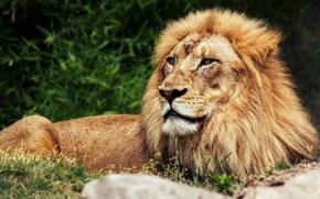 Picture look, face, cats, nature, portrait, Leo, mane, lies, wild cats, important