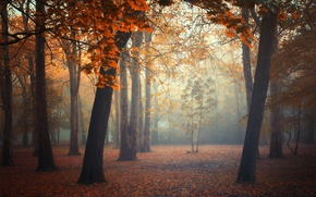 Picture autumn, forest, leaves, trees, fog, forest, trees, autumn, leaves, fog