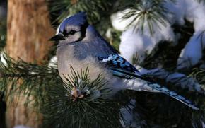 Picture winter, snow, needles, tree, bird, branch