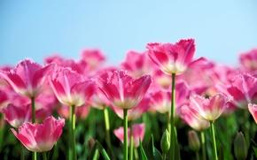 Wallpaper pink, spring, tulips