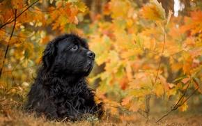 Wallpaper each, autumn, dog