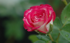 Picture drops, macro, background, rose, Bud