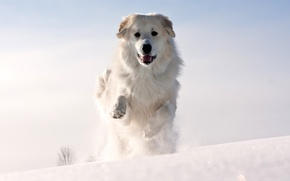 Picture cold, winter, face, snow, animal, dog, paws, wool, white, ears, runs