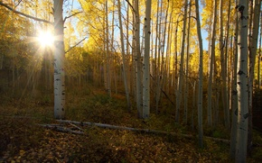 Picture forest, nature, morning, birch