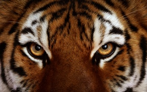 Picture eyes, look, Tiger, wool
