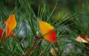Picture autumn, leaves, needles, needles