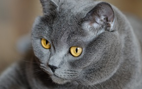 Picture cat, eyes, cat, look, grey, yellow, British, British