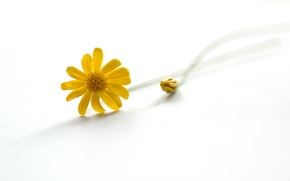 Picture Yellow, Daisy, white background