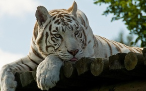 Picture language, look, nature, Tiger, wool