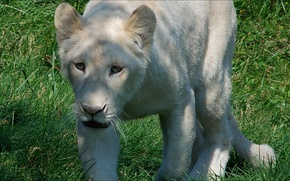 Picture animals, nature, lion, white)