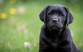 Picture look, portrait, dog, puppy, Labrador Retriever