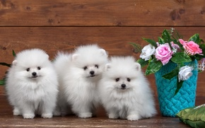 Picture flowers, roses, puppies, fluffy, white, trio, Spitz