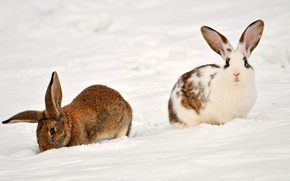 Picture animals, snow, rabbits, Two rabbits in the snow