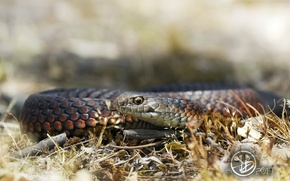 Picture snake, background, nature