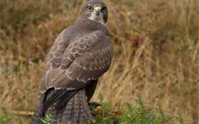 Picture look, predator, Bird, hawk, Buzzard