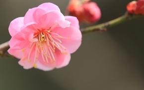 Picture flower, macro, pink, focus, branch, petals, blur, Japanese apricot