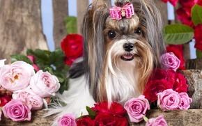 Picture girl, dog, flowers, barrette, bow, roses