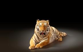 Picture tiger, predator, black background, big cat, the Amur tiger